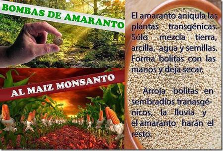 Bombas_de_amaranto_combatir_a_Monsanto_-_El_Amaranto_es_una_bomba_para_los_cultivos_transgenicos_large